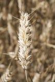 Een close-up van tarwepit Stock Fotografie