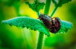 Een close-up van twee insecten wordt geschoten die in het bos koppelen dat stock afbeeldingen