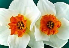 Paar gele narcissen Stock Foto's