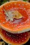 Een close-up van vlieg twee schiet in de herfst als paddestoelen uit de grond Stock Afbeeldingen