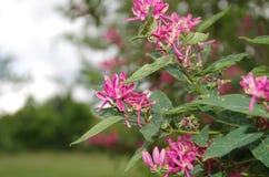 Een close-up van vrij rode bloemen van een struik stock foto