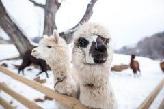 Een close-up van witte alpaca met zijn een andere vriend royalty-vrije stock afbeeldingen