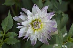 Een close-up van witte violette dahliabloem Royalty-vrije Stock Afbeelding