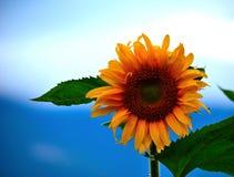 Een close-up van zonnebloem Royalty-vrije Stock Foto