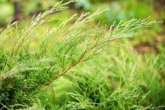 Een close-upbeeld van groene jeneverbes gaat weg royalty-vrije stock afbeelding