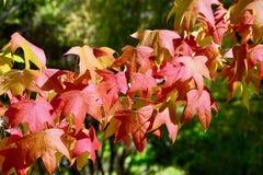 Een close-upfoto van een boomtak met rode de herfstbladeren, backlight royalty-vrije stock foto