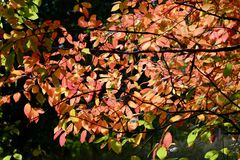 Een close-upfoto van een boomtak met rode de herfstbladeren, backlight royalty-vrije stock foto's