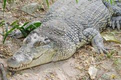 Een close-upfoto van een krokodil Royalty-vrije Stock Afbeeldingen