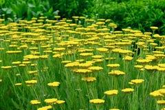 Een close-upfoto van een flard van heldere gele Tanacetum, zonnige en vrolijke die bloemen in traditionele geneeskunde wordt gebr royalty-vrije stock fotografie