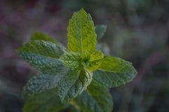 Een close-upfoto van een groene muntinstallatie Stock Afbeelding