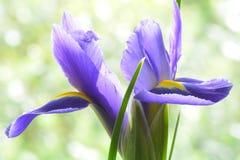 Een close-upfoto van een heldere blauw-purpere iris; zachte groene bokeh op de achtergrond stock afbeeldingen