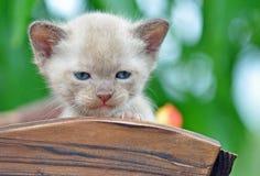 Sluit omhoog uiterst klein 4 week oud Birmaans katje in openlucht Royalty-vrije Stock Foto's