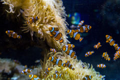 Een clown vist in aquarium Stock Fotografie