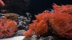 Een clownvis zwemt in een anemoonstruik stock videobeelden