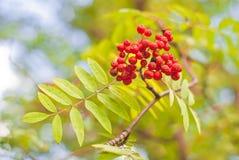 Een cluster van ashberry royalty-vrije stock foto