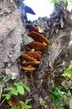 Een cluster van boompaddestoelen Royalty-vrije Stock Afbeeldingen
