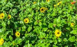 Een Cluster van Gele Strandmadeliefjes stock fotografie
