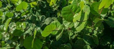 Een Cluster van Groene Overzeese Bladeren stock afbeeldingen