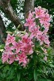 Een cluster van Lelies (lilium) royalty-vrije stock afbeelding