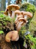 Een cluster van paddestoelen stock afbeelding