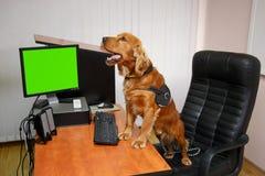 Een cocker spaniel-hond voor de zitting van de drugopsporing in douanekantoor op stoel met poten op de lijst dichtbij computer Ho royalty-vrije stock foto's