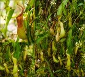 Een collage met verschillende installaties van Nepenthes Stock Afbeeldingen