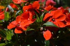 Een combinatie van schoonheid en subtiele naturalness Rode bloemen stock afbeeldingen