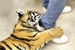In een contactdierentuin speelt een tijgerwelp met het been van een werknemer stock foto's