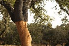 Een corkwoodboom Stock Afbeeldingen