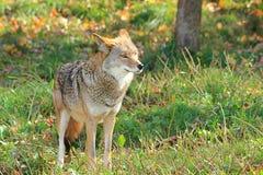 Een coyote. stock afbeelding