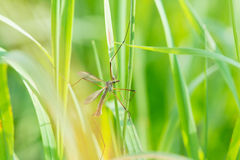 Een Cranefly, hooiwagen in ingediend groen Stock Afbeeldingen