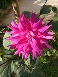 Een Dahlia royalty-vrije stock afbeelding