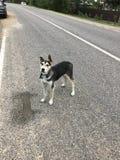 Een dakloze puppylandloper op de weg Royalty-vrije Stock Fotografie