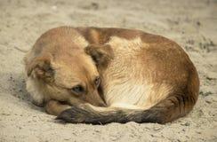 Een daklozen bevroren bruine kleine hond met een etiket op zijn oor krulde omhoog op het koude natte zand en spreidde zijn gezich stock foto's