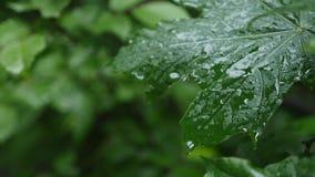 Een daling van regendalingen op een esdoornblad, sluit omhoog stock footage
