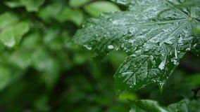 Een daling van regendalingen op een esdoornblad, sluit omhoog stock video