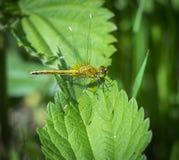 Een damselfly zit op een groen blad, een roofzuchtig insect Royalty-vrije Stock Afbeeldingen