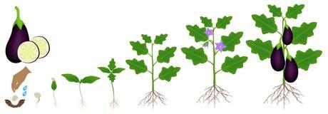 Een de groeicyclus van een aubergineinstallatie is geïsoleerd op een witte achtergrond stock illustratie