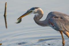 Een de Jacht Grote Blauwe Reiger dicht omhoog met een vis stock foto