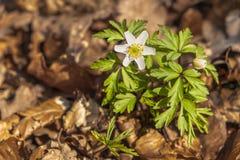 Een de lente houten anemoon royalty-vrije stock afbeelding