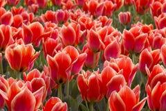 Een de lentegebied met rode tulpen stock afbeeldingen