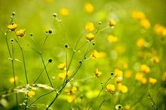 Een de lentegebied van wilde boterbloemen Stock Afbeeldingen