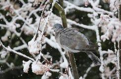 Een de winterscène van een palumbus van Woodpigeon Columba streek op een tak van een lijsterbesboom neer in een sneeuwstorm Het h royalty-vrije stock afbeelding