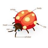 Een deel van de lieveheersbeestjewoordenschat van lichaam Stock Afbeeldingen