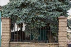 Een deel van de omheining van ijzerstaven en bruine bakstenen met groene pijnboom vertakt zich royalty-vrije stock afbeeldingen