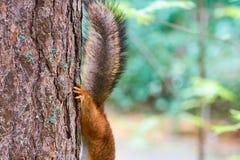 Een deel van eekhoorn op een boom royalty-vrije stock foto