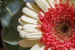 Een deel van multi gekleurd Gerbera-bloemhoofd Stock Afbeelding