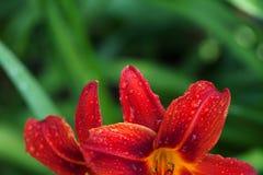 Een deel van tot bloei komende rode leliebloem met waterdalingen Stock Foto