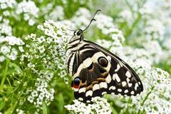 Een demodocus van Papilio van de citrusvruchten swallowtail vlinder op zoete alyssum bloeit stock foto's