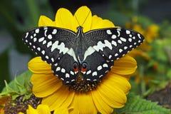 Een demodocus van Papilio van de citrusvruchten swallowtail vlinder op een zonnebloem royalty-vrije stock foto